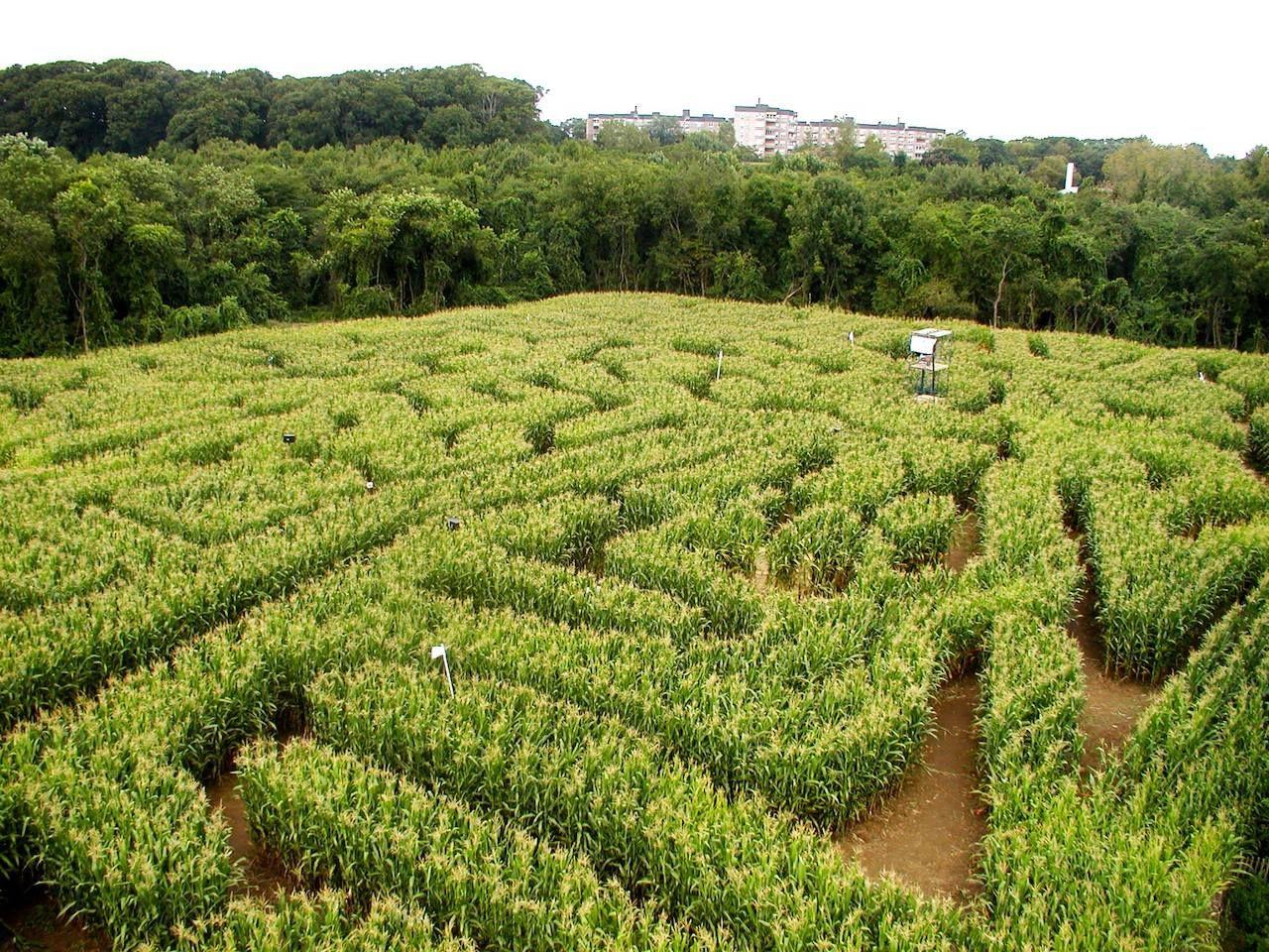 The Queens County Farm Museum corn maze in Queens, New York