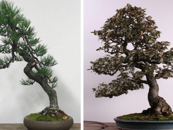 Stolen Bonsai Trees Returned To Pacific Bonsai Museum
