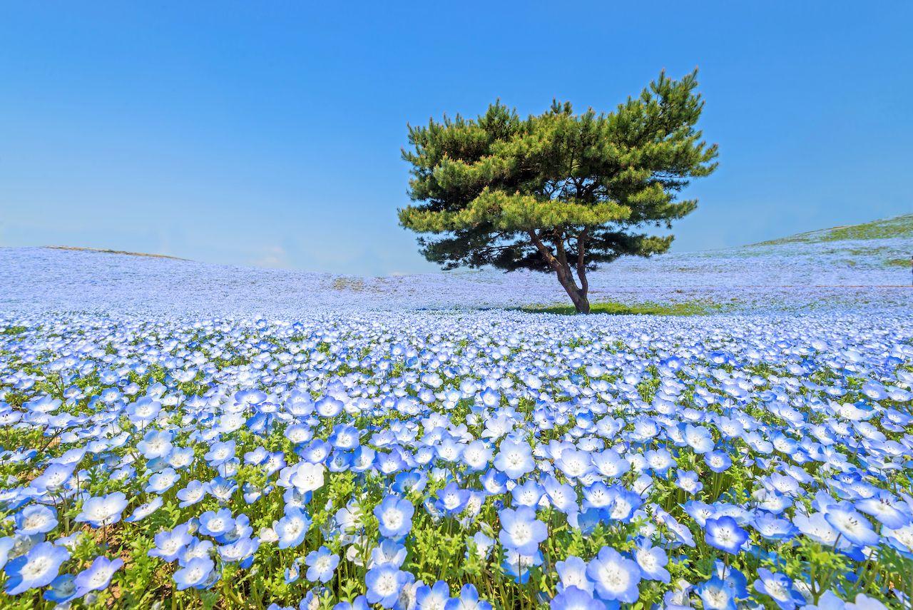 Nemophila, flower field at Hitachi Seaside Park in spring, Japan