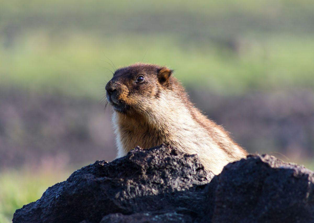 Russia bans marmot hunting after cases of bubonic plague