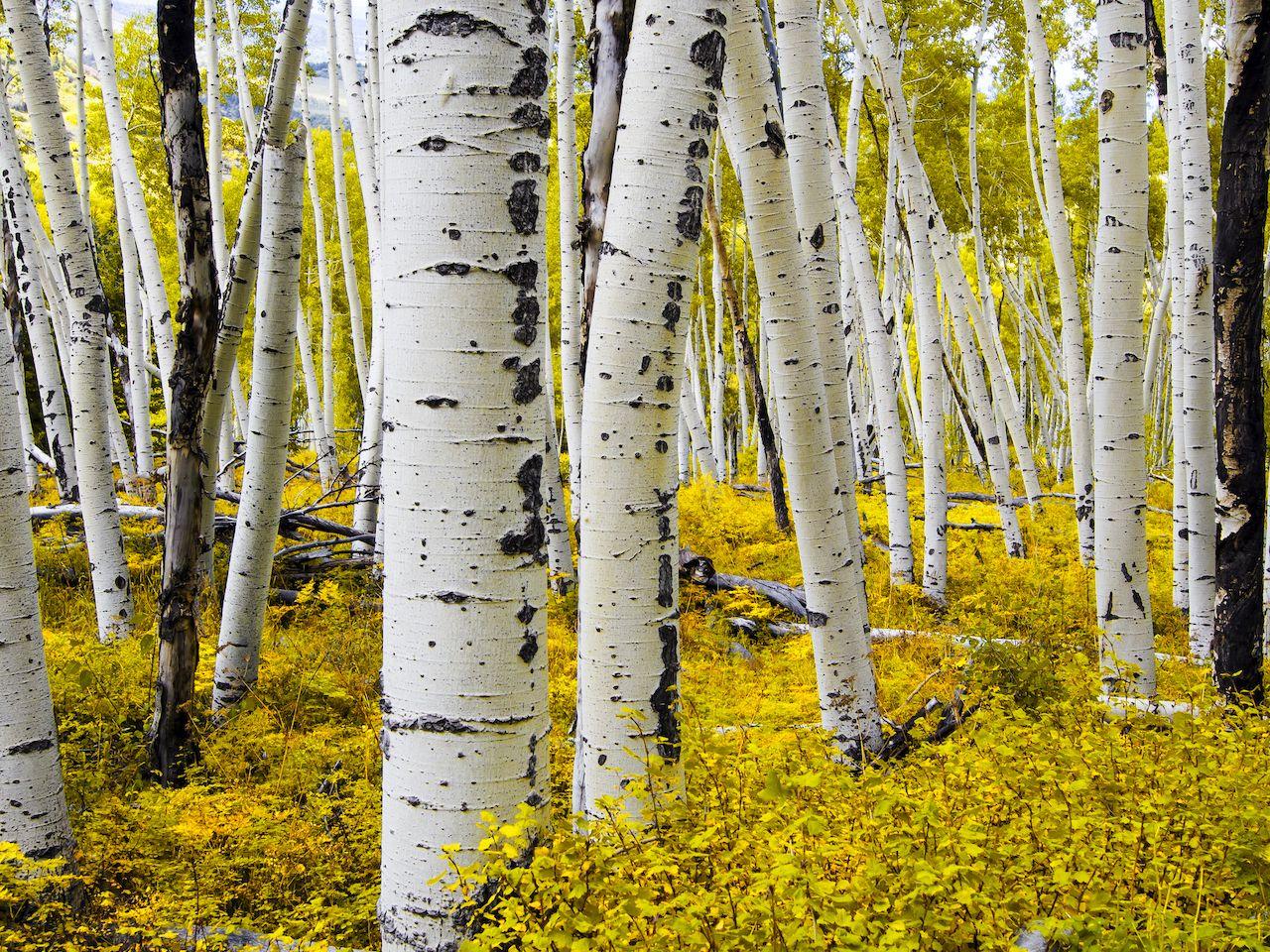 White aspen trees and their fall foliage in Aspen, Colorado