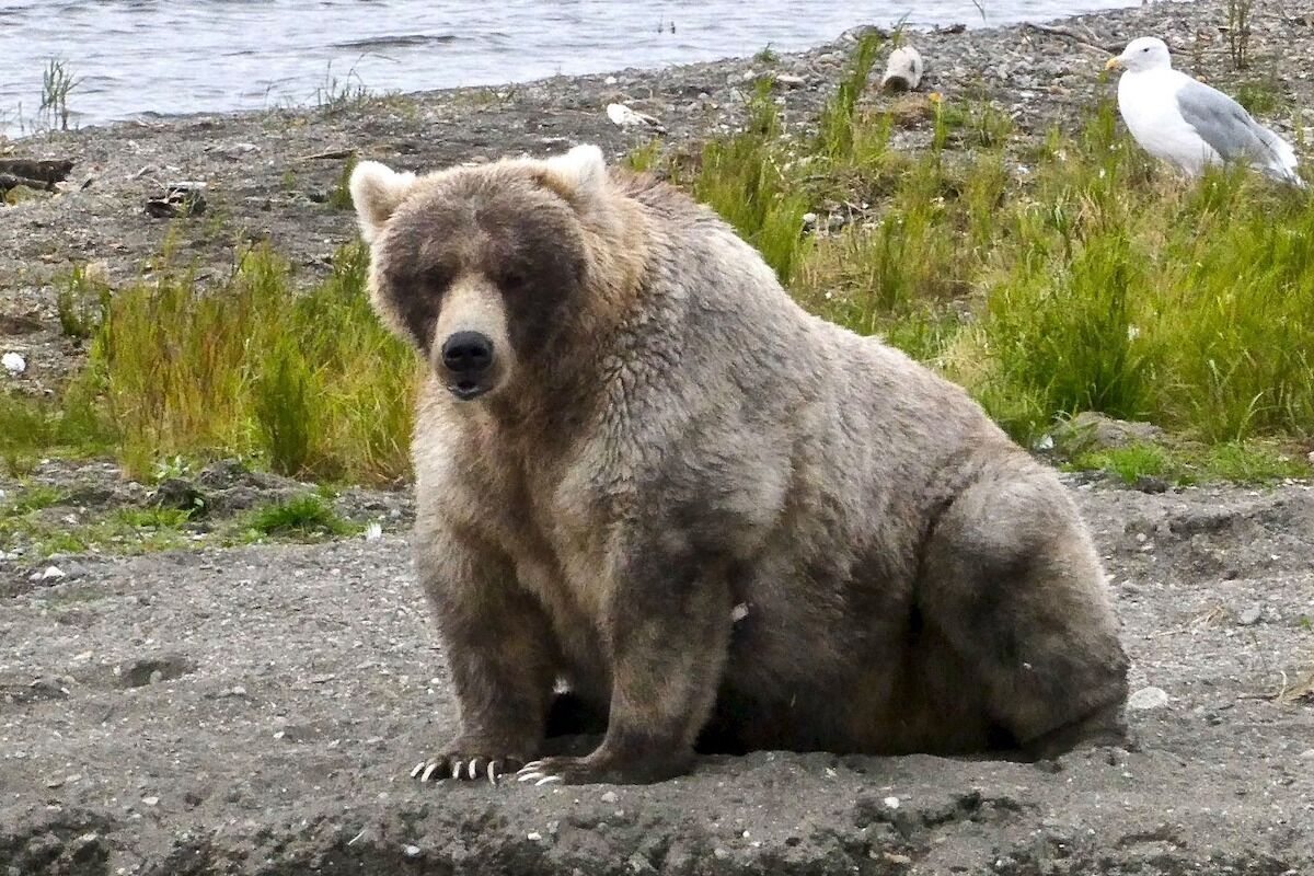 Fat Bear Week is back, and voting starts today