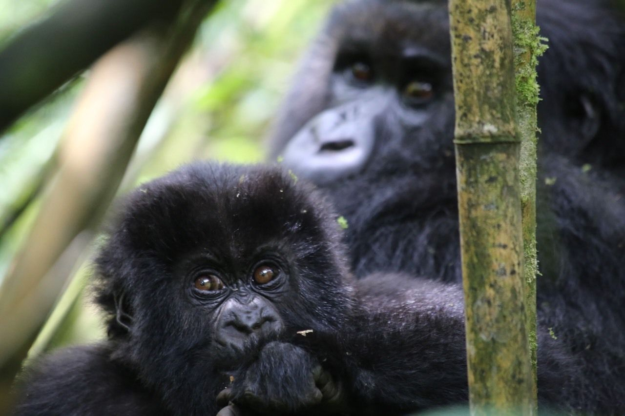 Baby mountain gorilla with mother behind in Rwanda