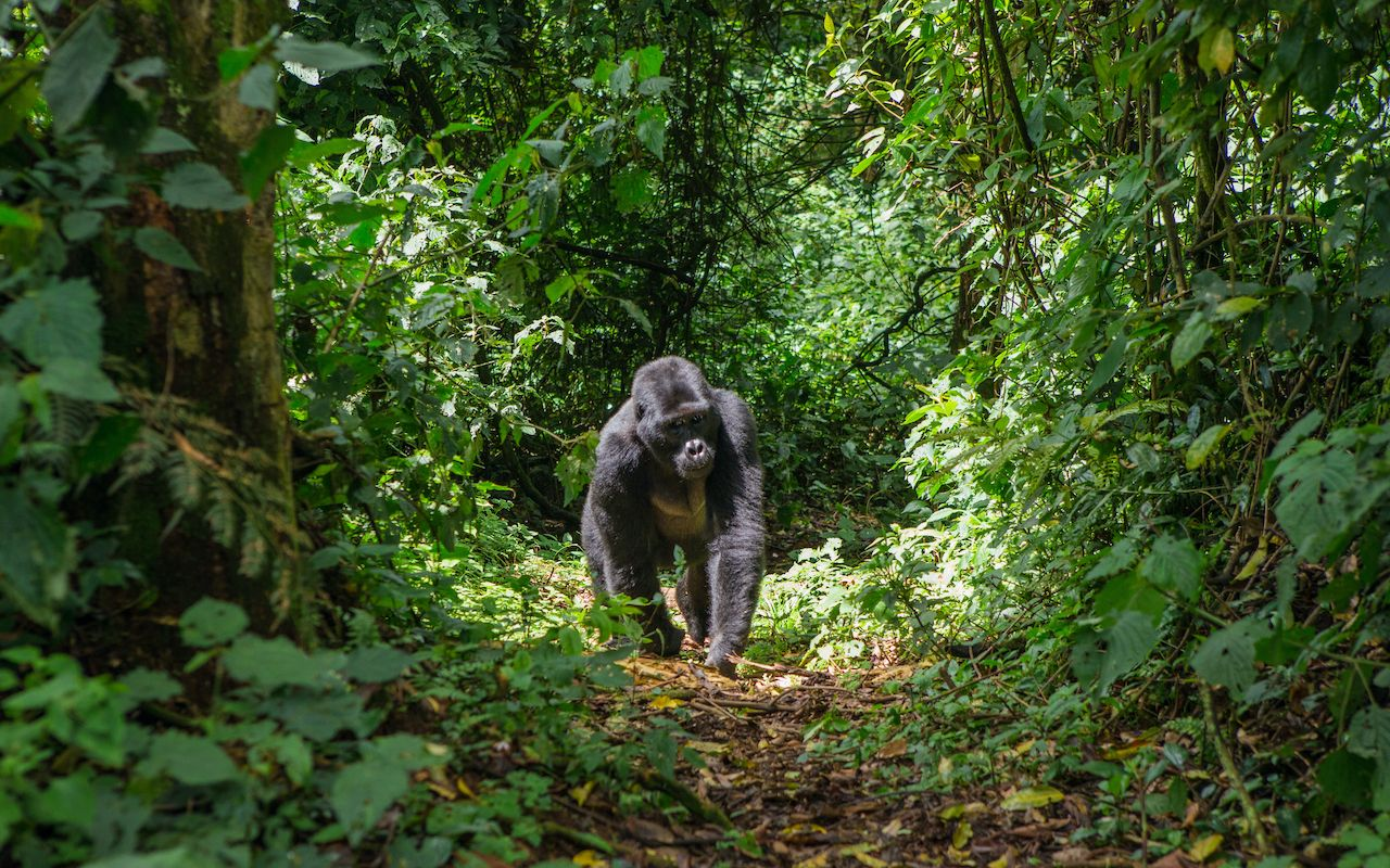 Gorilla in Ugandan forest