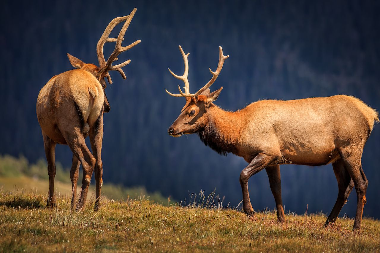 Elks from Rocky Mountains National Park