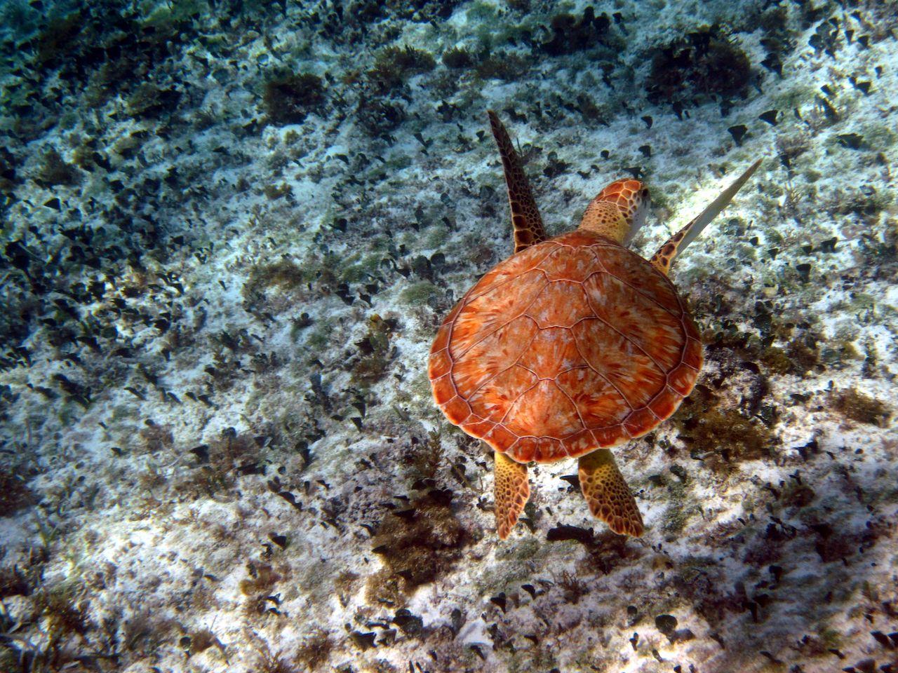 Green Sea Turtle in Cozumel, Mexico