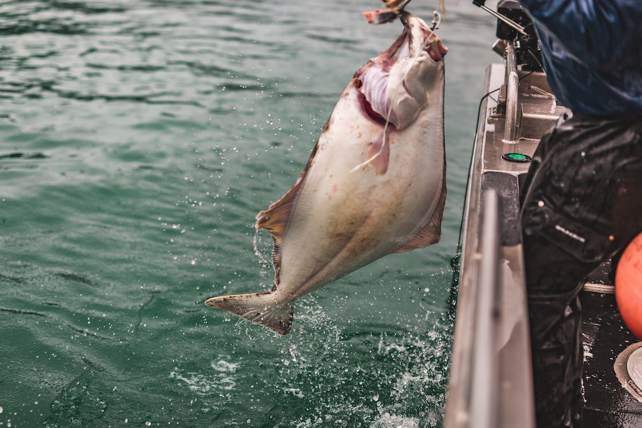 Halibut being lifted over the side of a fishing boat in Alaska