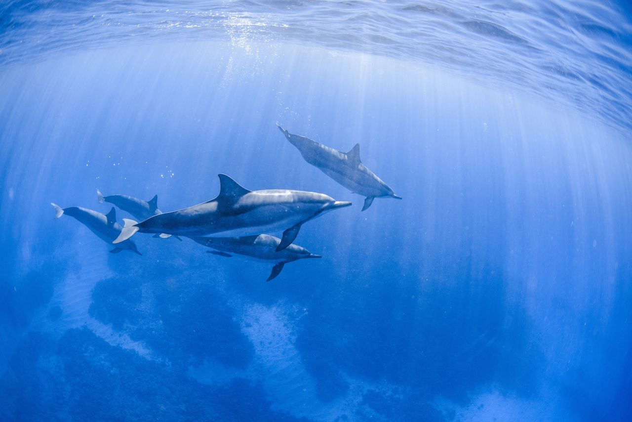 Spinner dolphins swimming in the Pacific Ocean