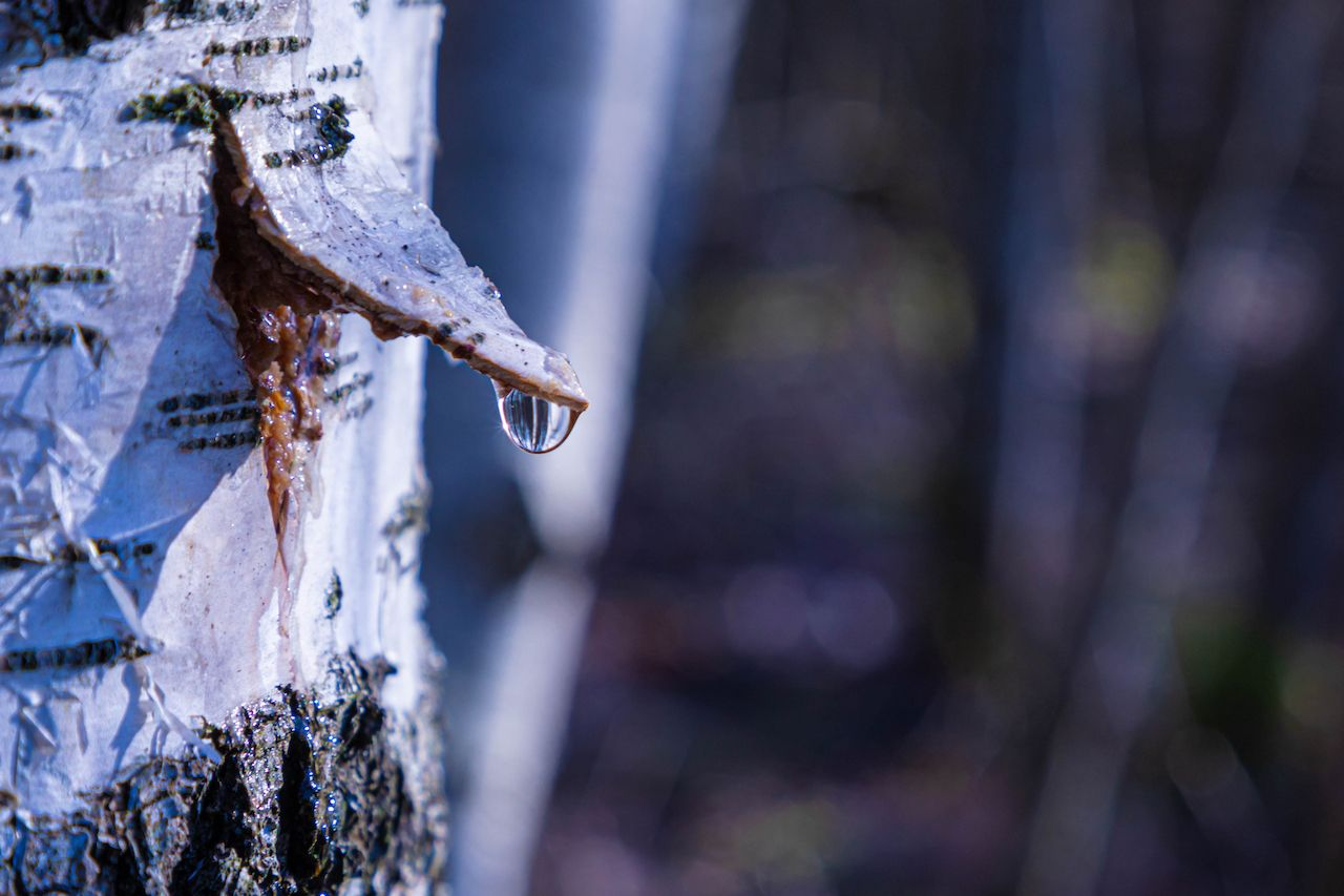 birch tree for syrup