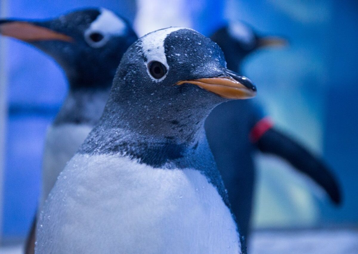 London aquarium shows Christmas movies to penguins to keep them entertained during lockdown