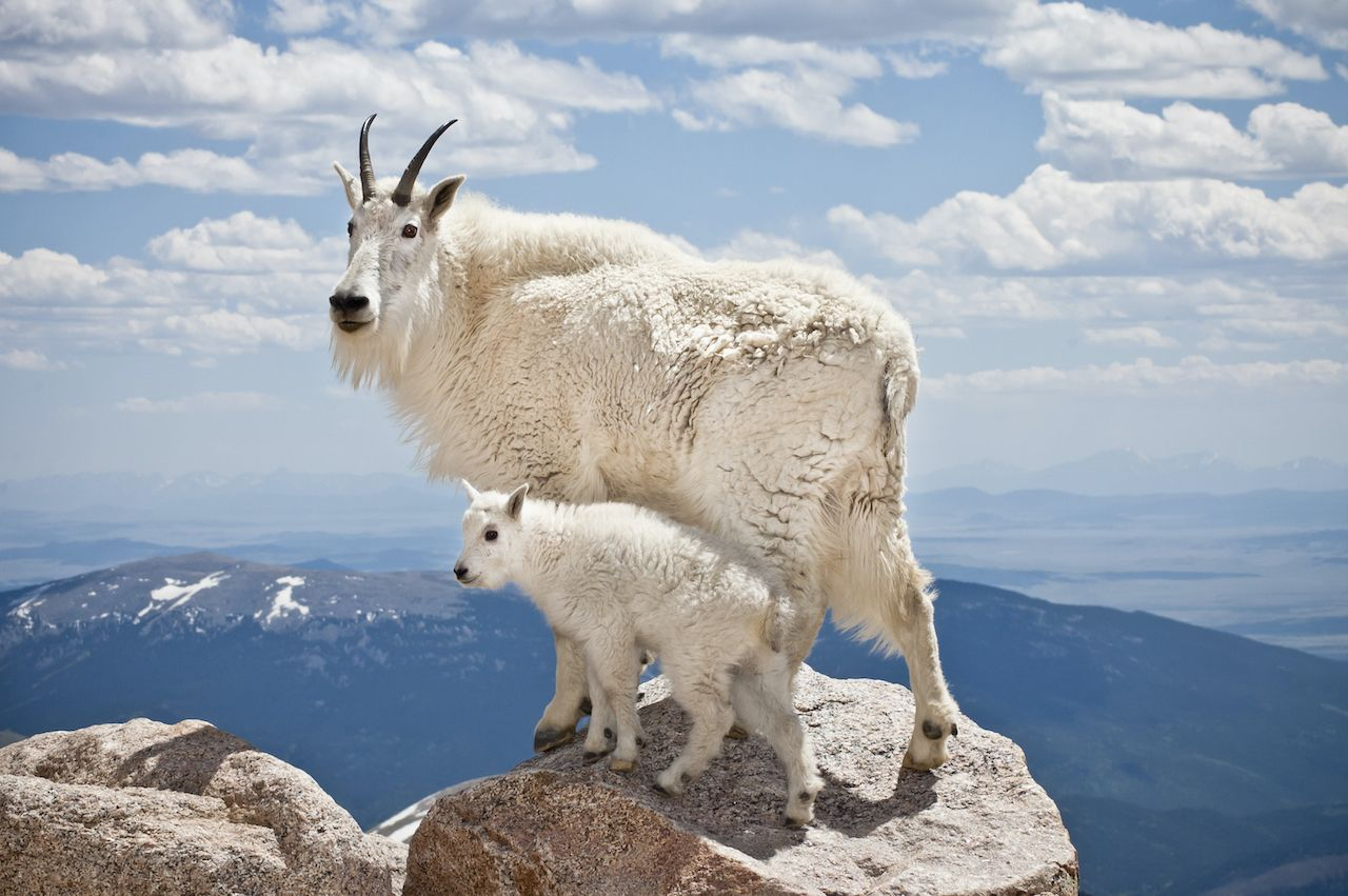 A pair of mountain goats