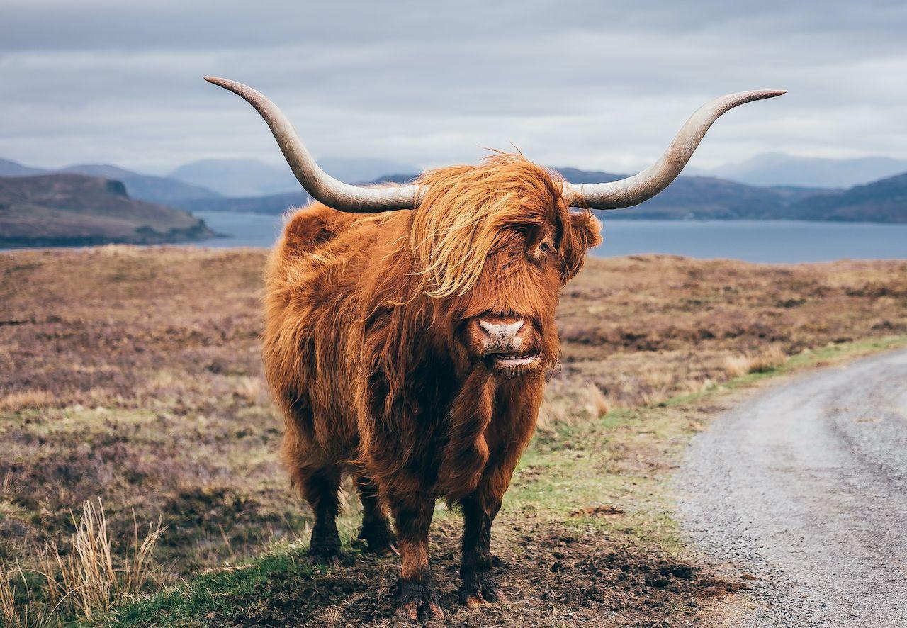 Scotland's 'Coo Cam' for Highland cows