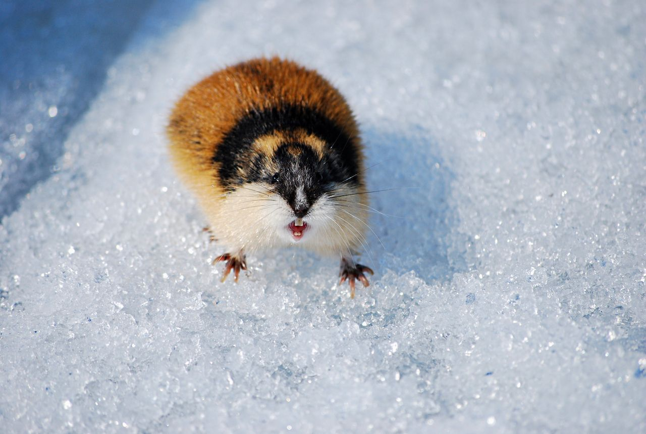 lemming in the snow