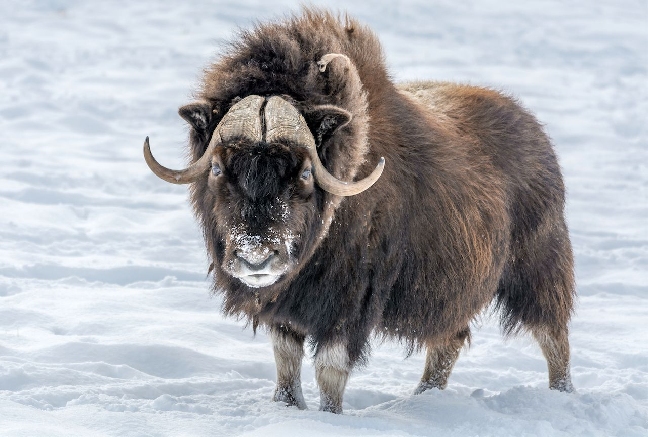 muskox in the snow