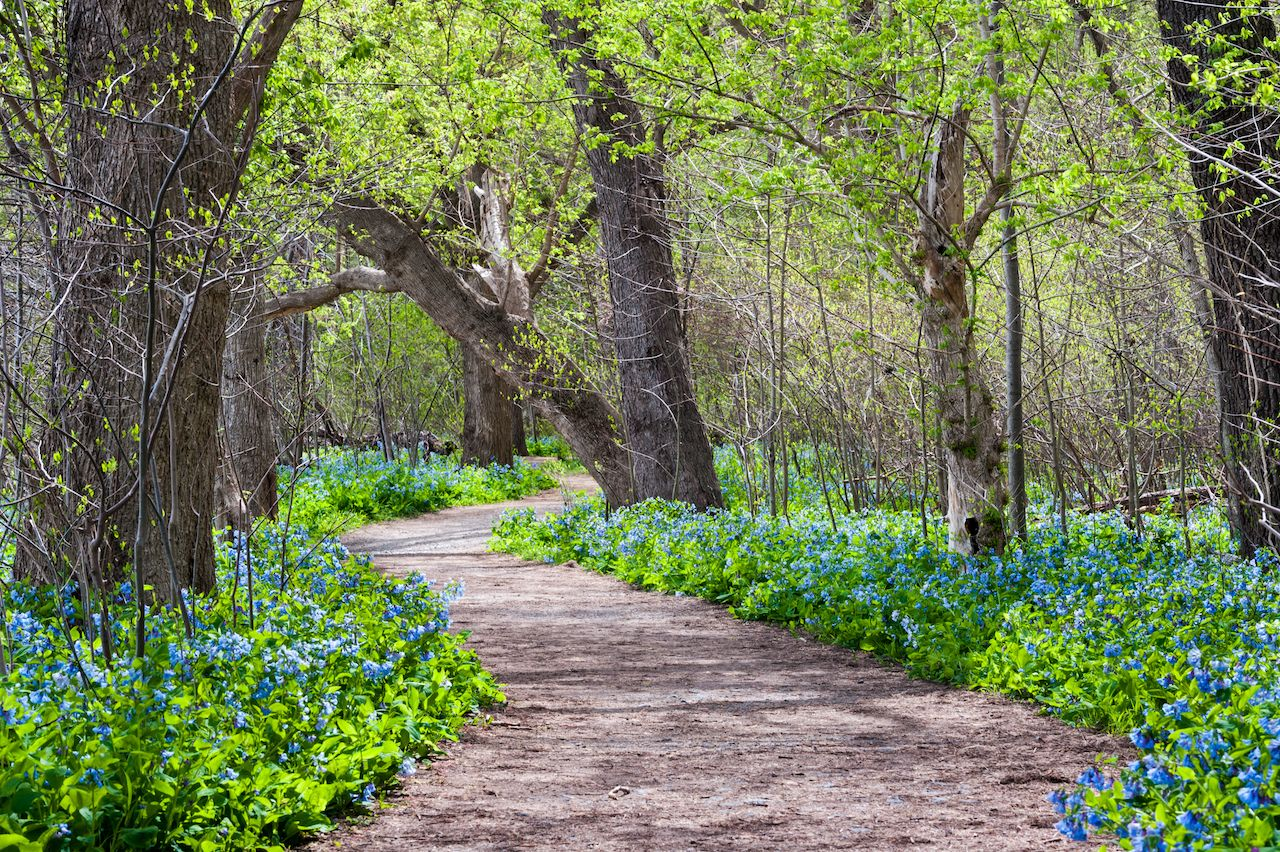 Bluebells in Potomac Heritage national scenic trail