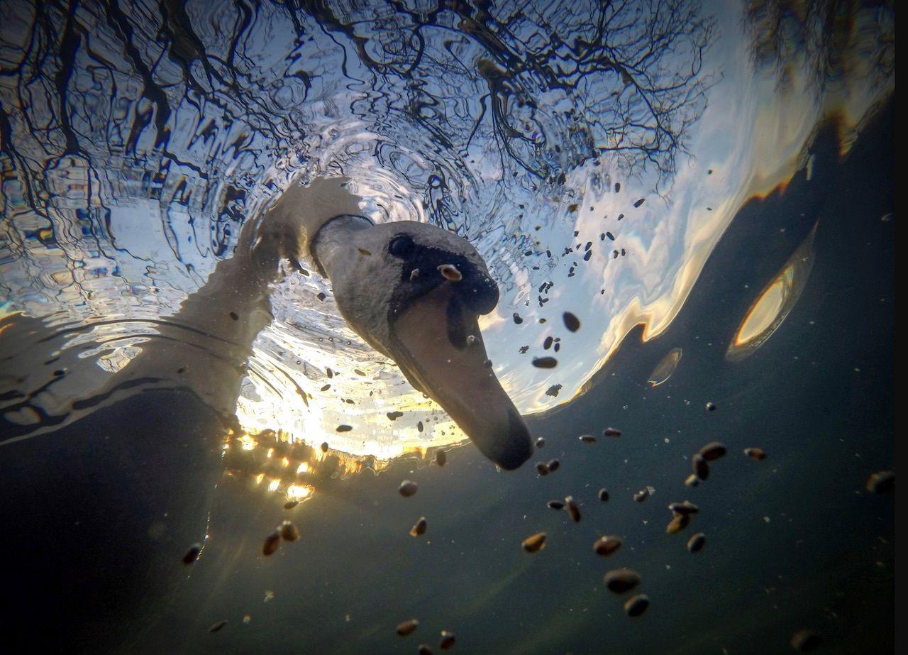Underwater view of swan