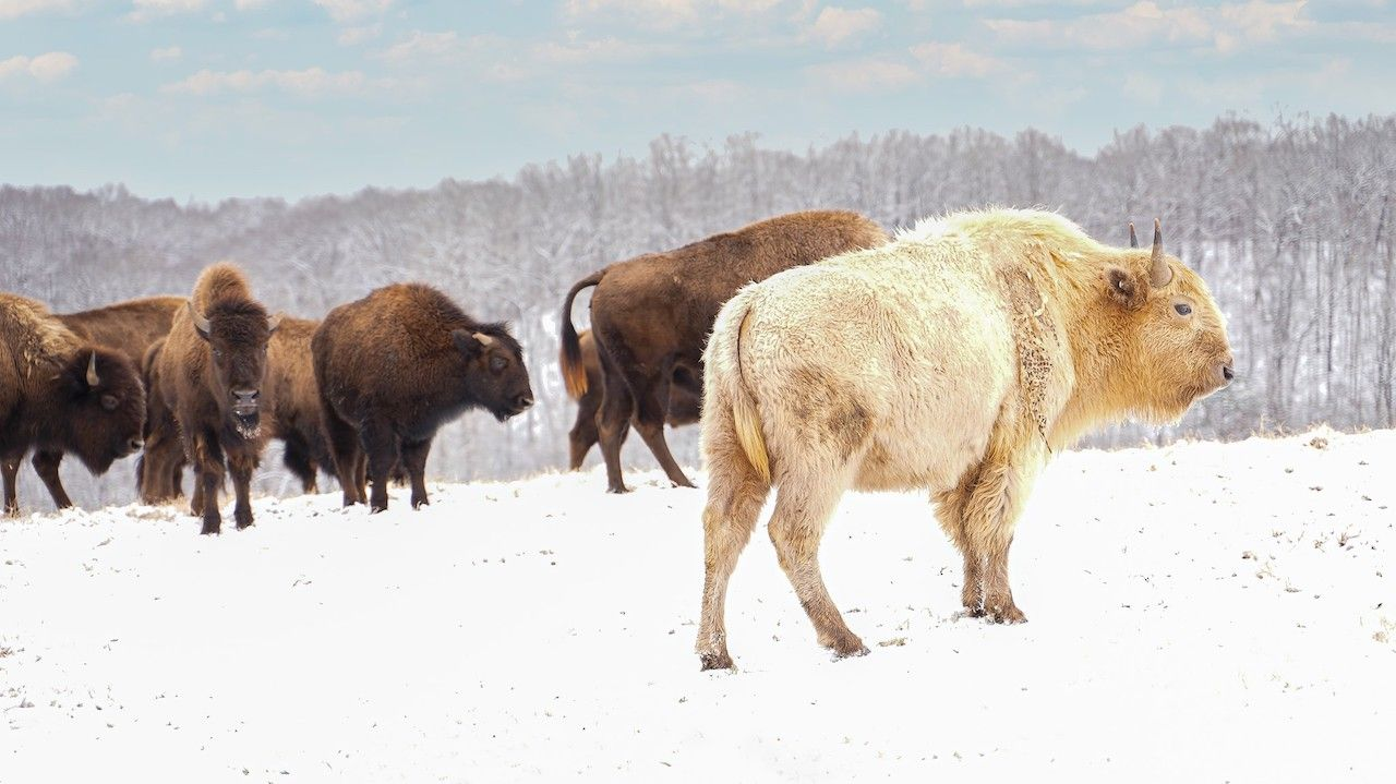 White bison in Dogwood Canyon