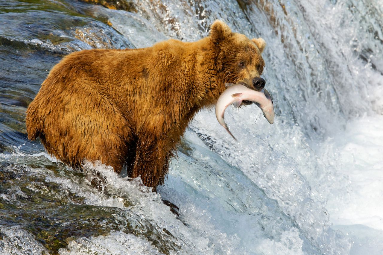 Bear eating salmon at Kenai Fjords National Park in Alaska