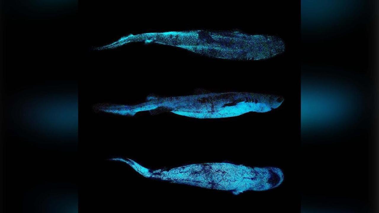 Bioluminescent shark