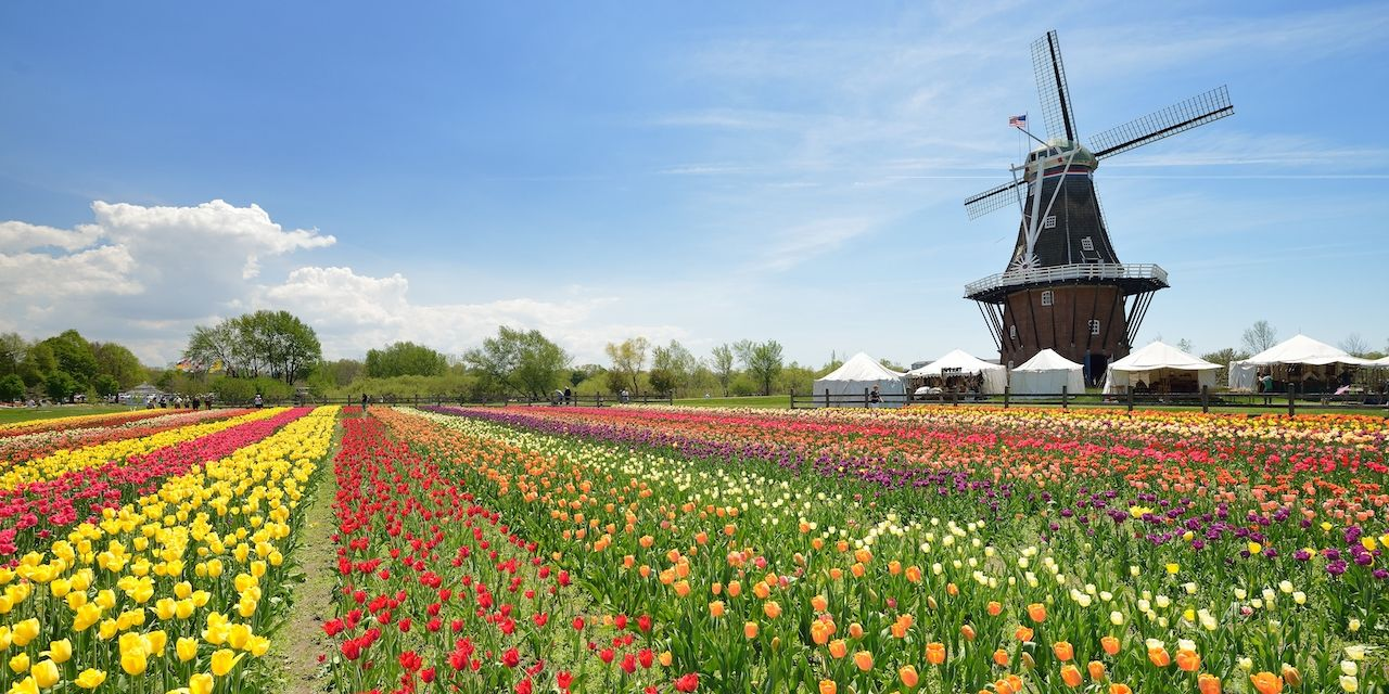 Dutch Windmill in a Holland Michigan tulip field