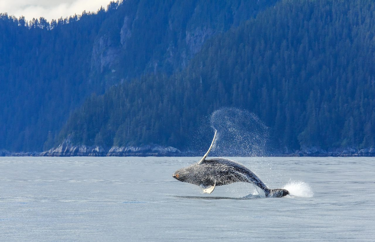 Humpback whale breaching  at Kenai Fjord National Park in Alaska