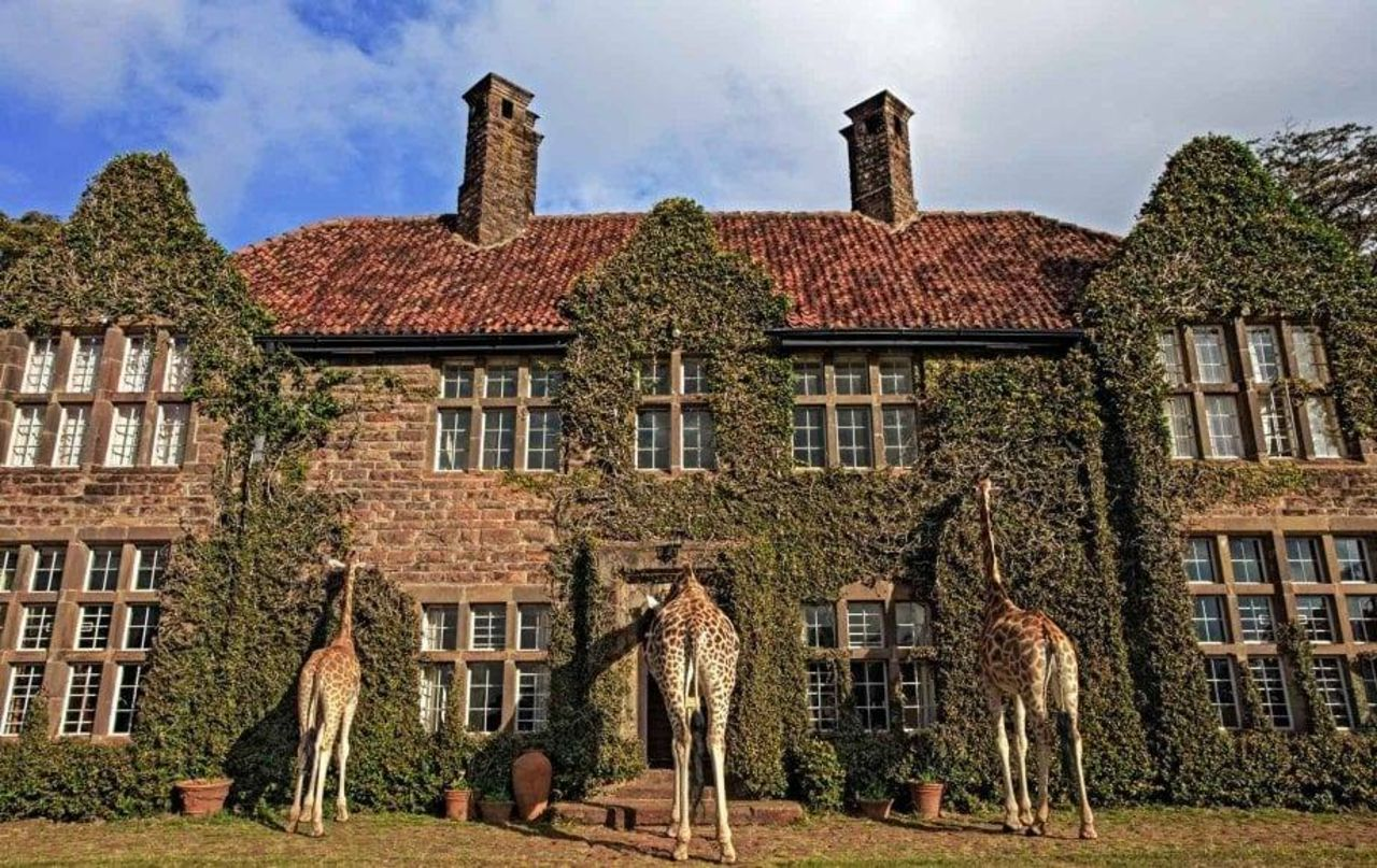 giraffe booties peeking in windows, giraffe manor