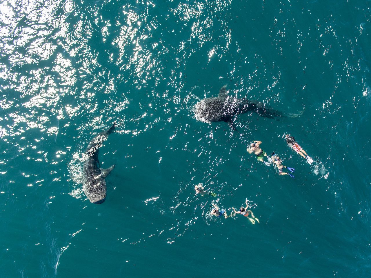 Swimming with two whale sharks in Mexico