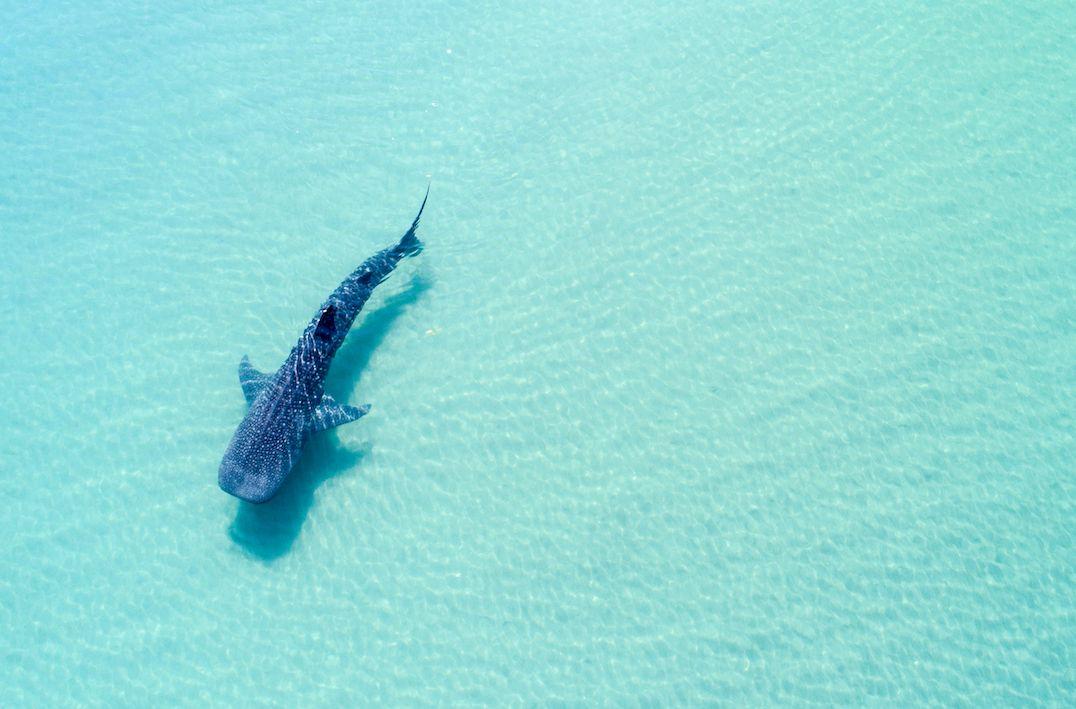 Whale shark swimming near the surface. La Paz Baja California sur, Mexico, whale sharks Mexico