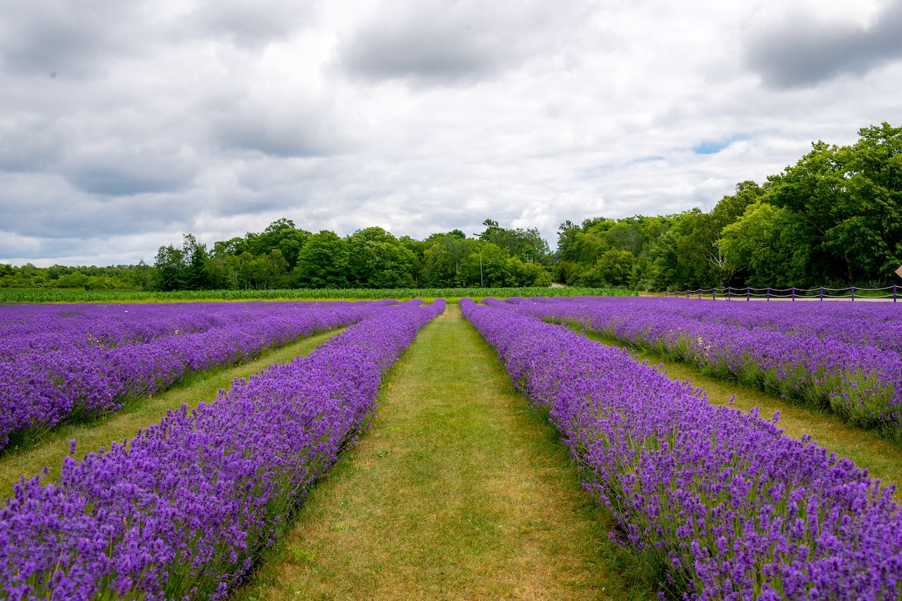 Rows of Lavender in the Lavender Fields on Washington Island, Wisconsin, Midwest islands