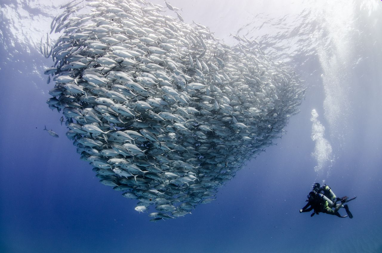 Forming a school, bait ball or tornado with a diver, whale sharks in Mexico