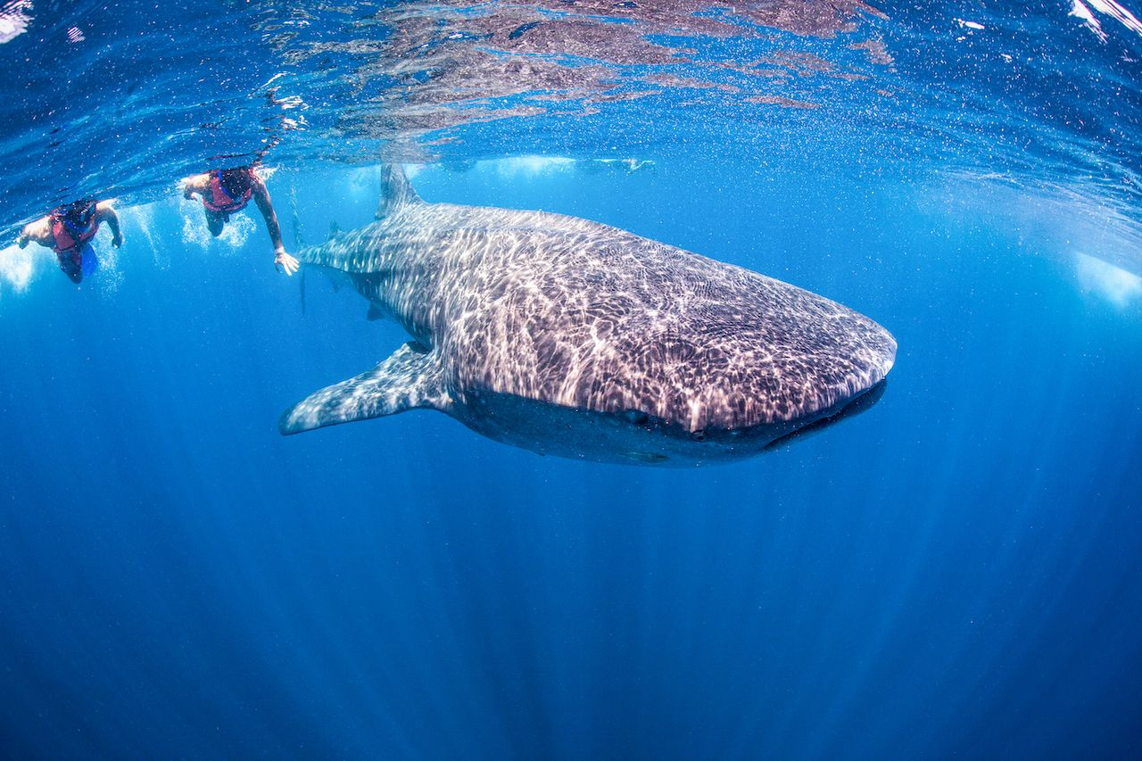 Swimming with Whale Shark in Mexico