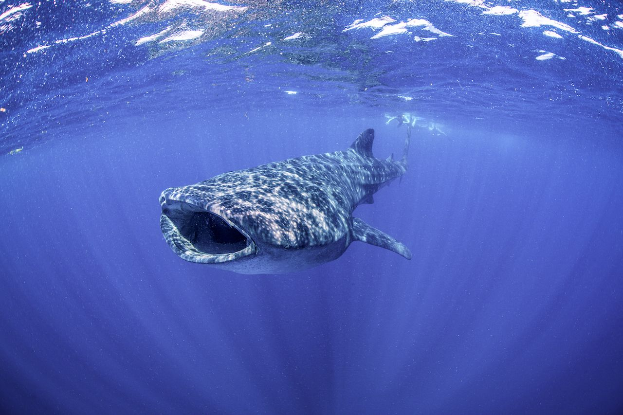Snorkeling with a Whale Shark at Isla Mujeres in Mexico, whale sharks in Mexico