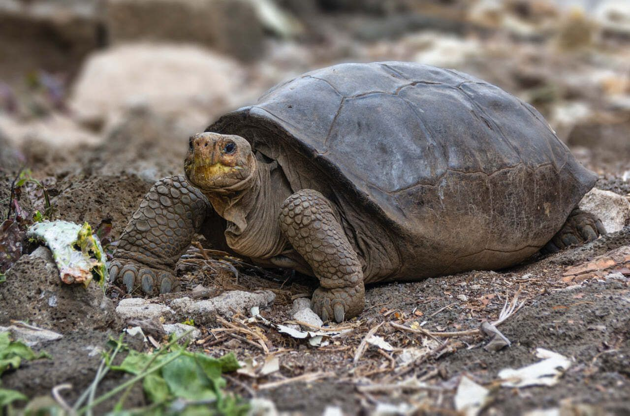 Chelonoidis phantasticus Galapagos tortoise, Giant tortoise, Galapagos Islands