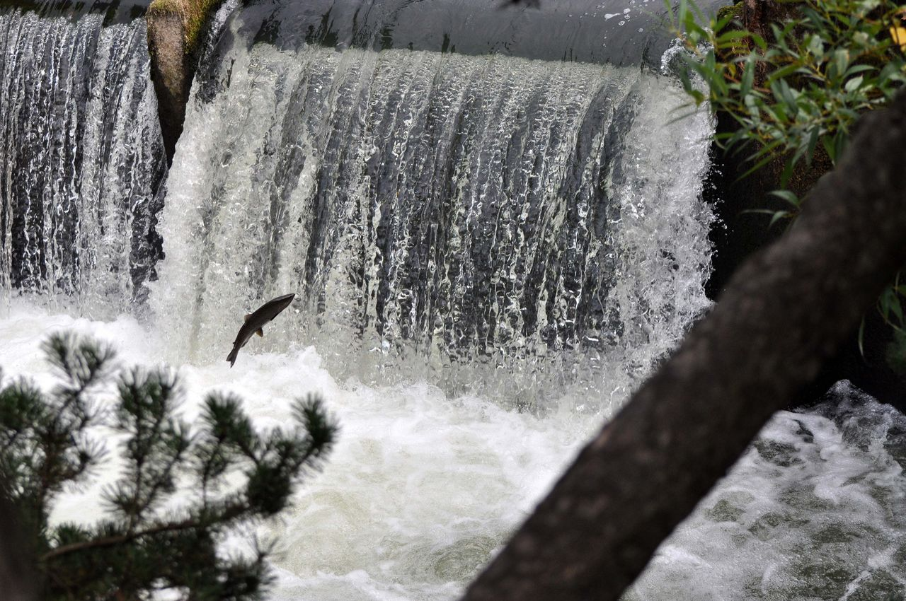 A salmon is jumping the waterfall at Tumwater Falls in Tumwater, WA, USA., Washington seafood