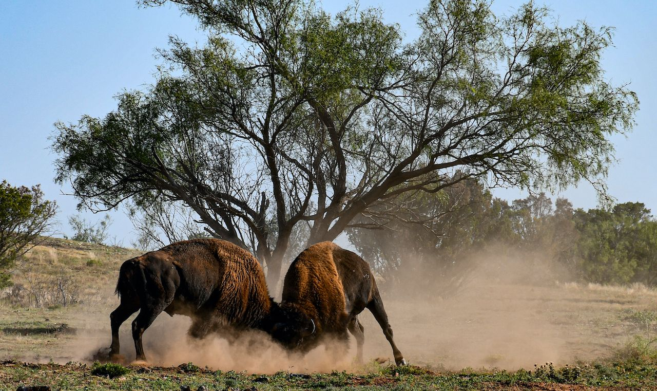 Bison Fight in Caprock Canyon State Park, Texas panhandle