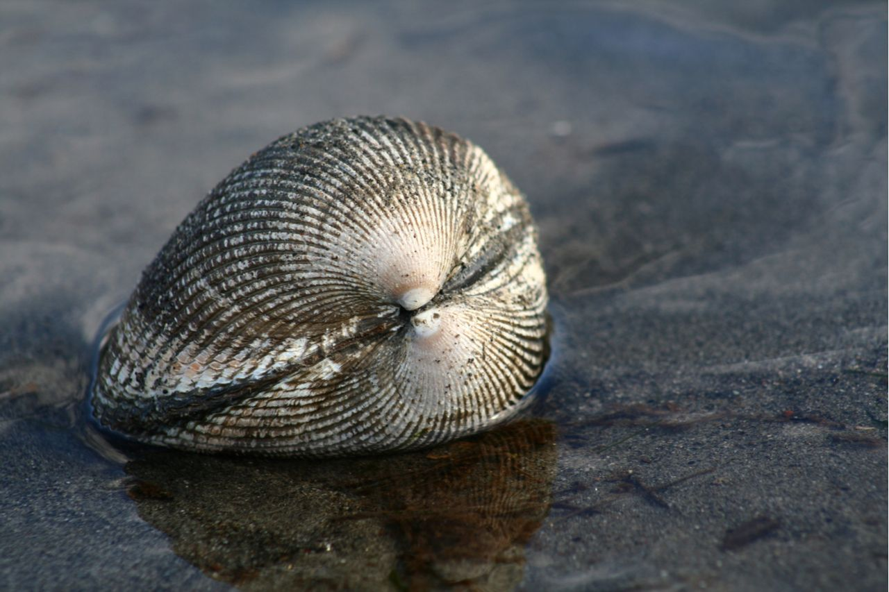 Clam in Puget Sound, Washington, Washington seafood