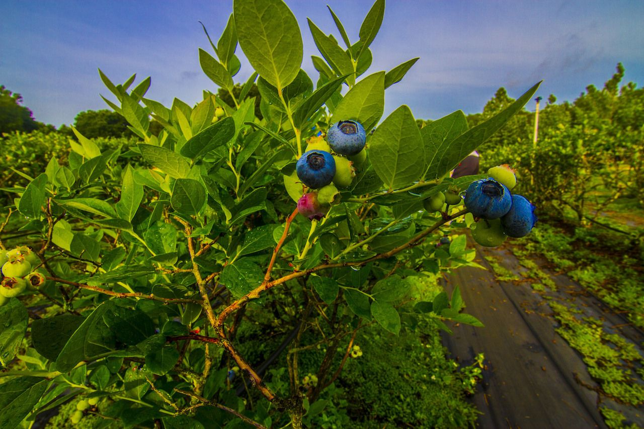 Organic Blueberry picking, outdoors in central florida