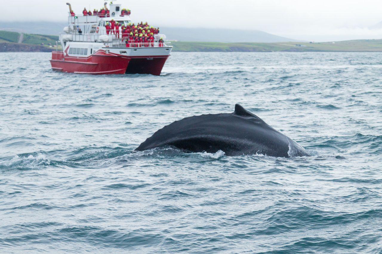 Whale watching from Akureyri, Iceland. Whale in water. Wildlife, Akureyri,