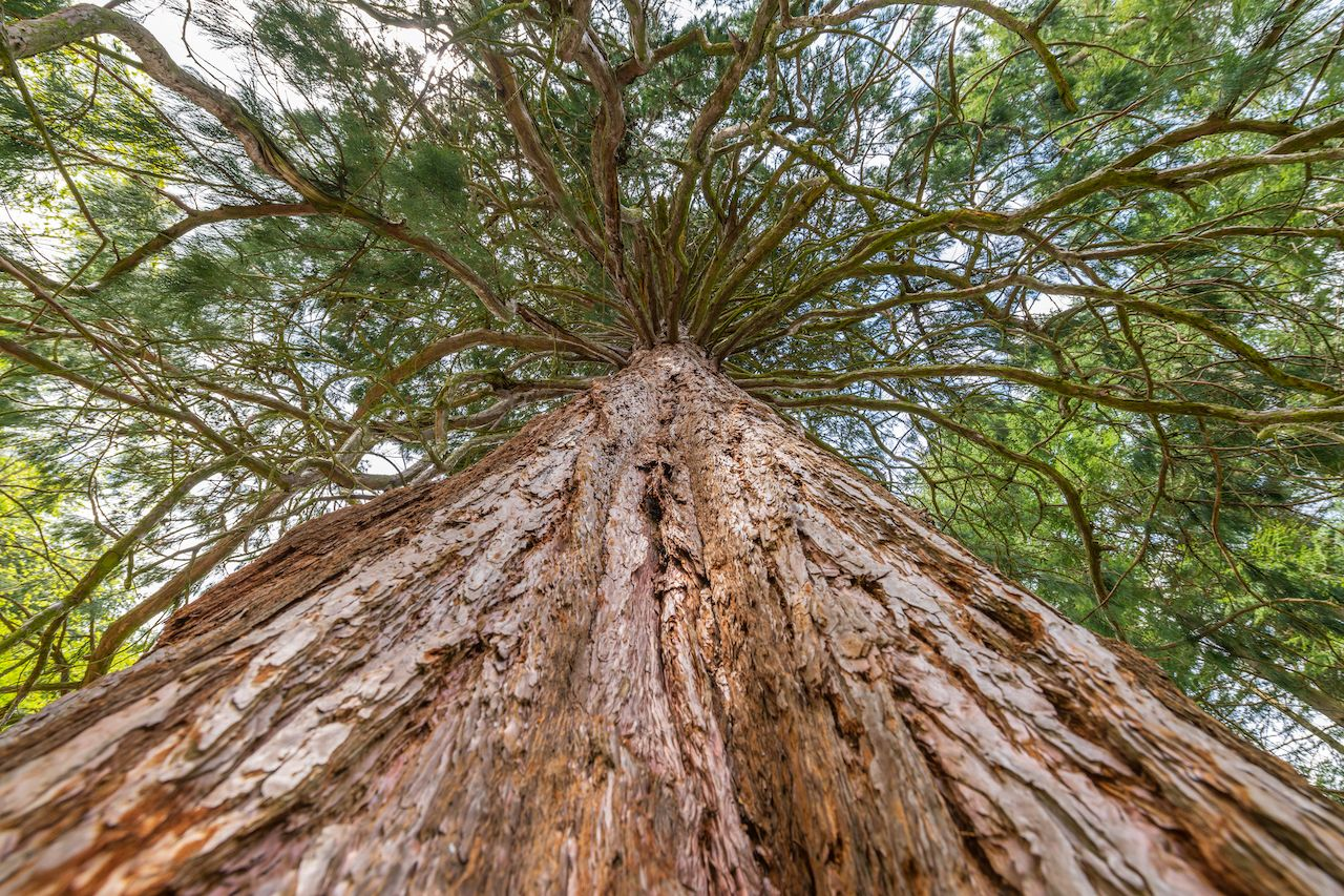 Giant,Seqoia,Of,Fappelbronn,Planted,In,1896,In,A,Vosges, Giant sequoias in Europe