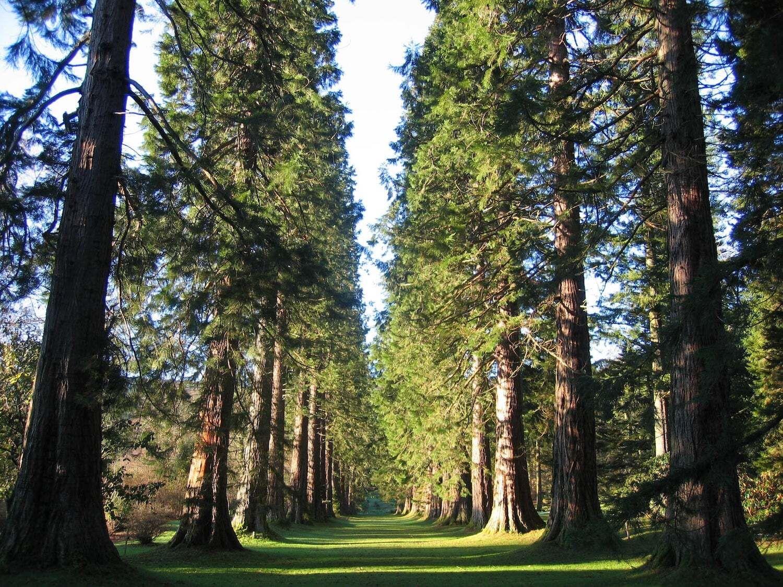 Giant-sequoias-in-Europe-Benmore-Botanic-Garden-Scotland,Giant sequoias in Europe