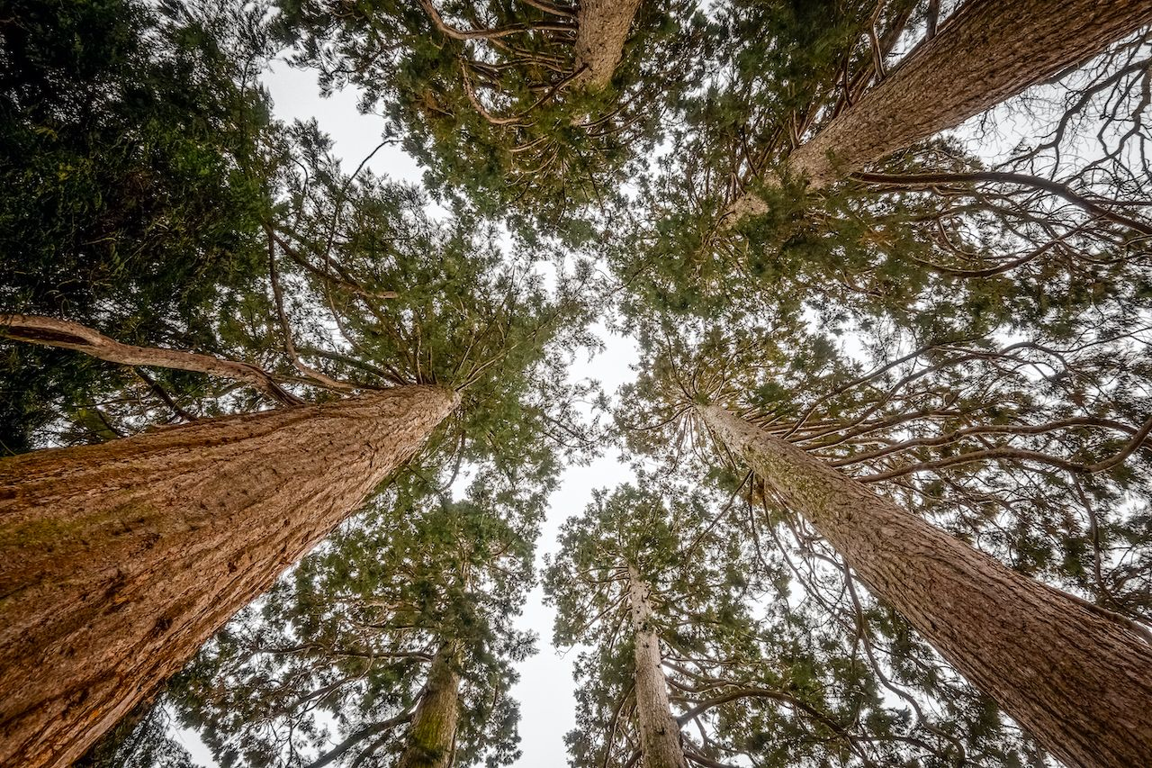 Trunks,Of,Giant,Sequoias,Rising,To,The,Sky,,In,A, Giant sequoias in Europe
