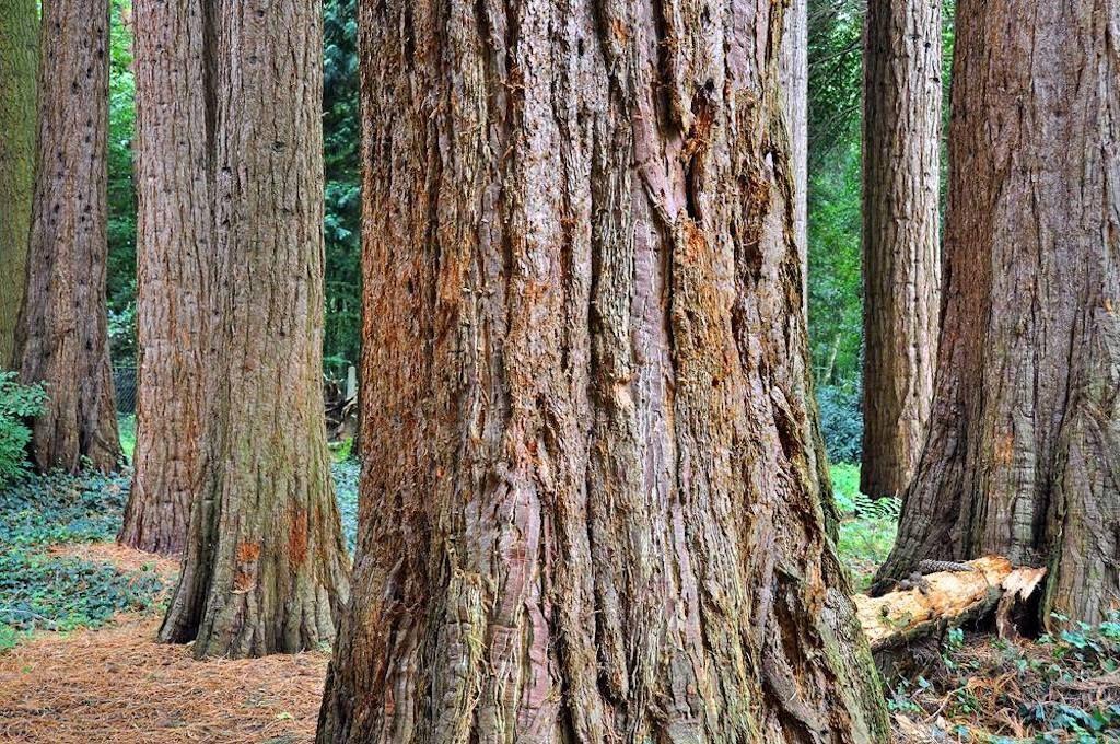 Giant-sequoias-in-Europe-Kaldenkirchen-Sequoia-Farm-Germany,Giant sequoias in Europe