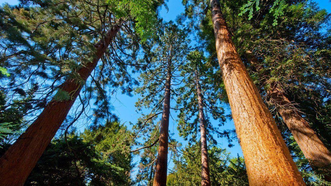 Giant-sequoias-in-Europe-Kew-Gardens-London,Giant sequoias in Europe