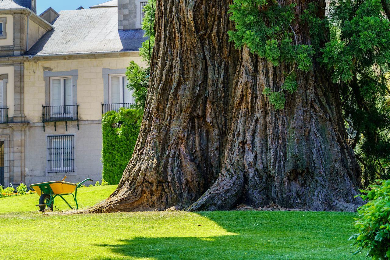 Large,Giant,Sequoia,In,The,Garden,Of,La,Granja,Segovia,  Giant sequoias in Europe