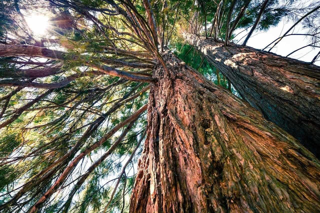 Popular,Tourist,Destination,-,Old,Sequoia,Tree,In,The,Rogojel, Giant sequoias in Europe