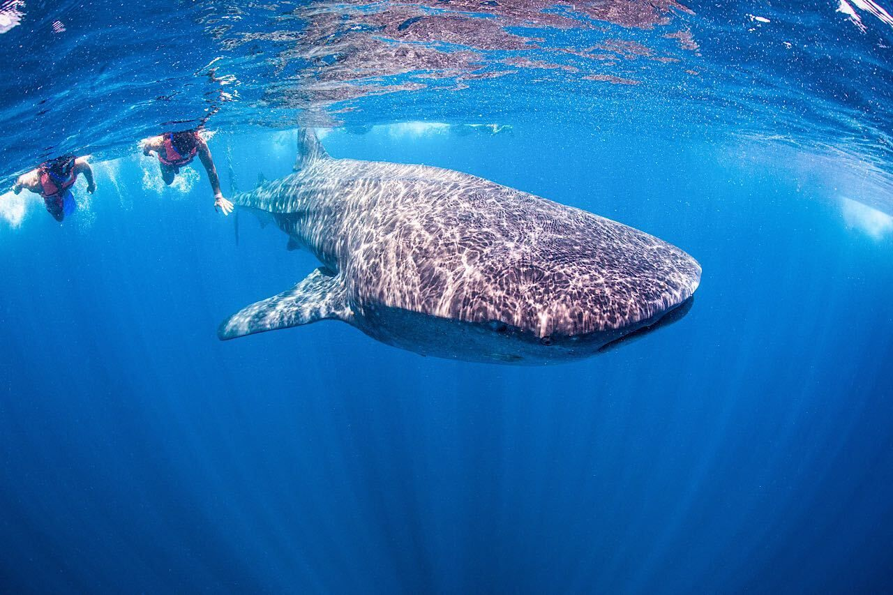 Swimming,With,Whale,Shark,In,Mexiko, Mexico experience