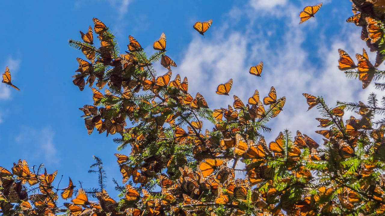 Monarch-Butterfly-Biosphere-reserve-561061879, At-risk natural wonders