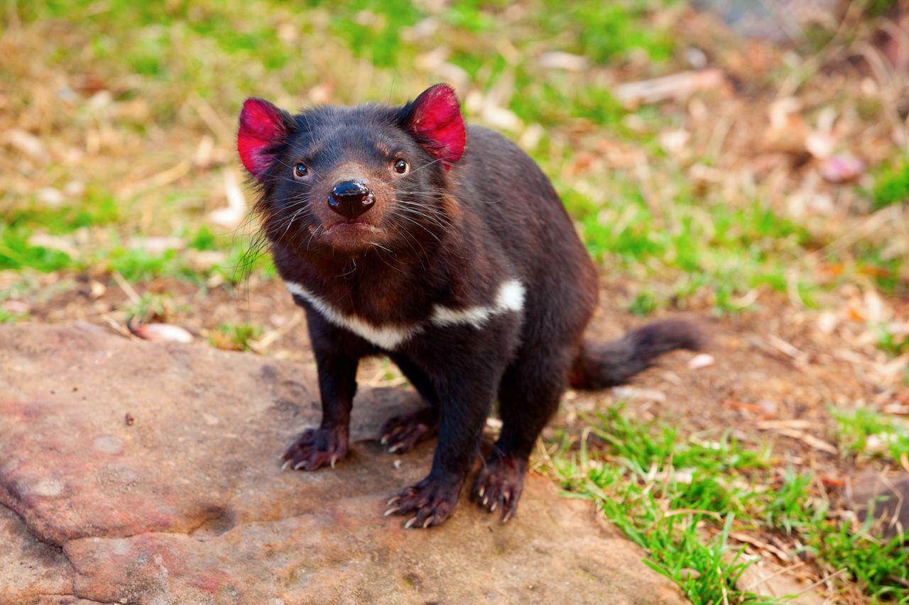 Tasmanian,Devil,,Australia, Things to do in Tasmania