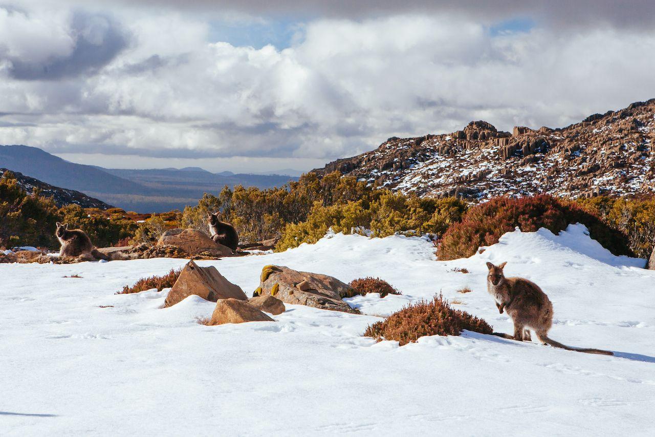 Ben,Lomond,Ski,Village,And,Wild,Kangaroos,On,A,Quiet, Things to do in Tasmania