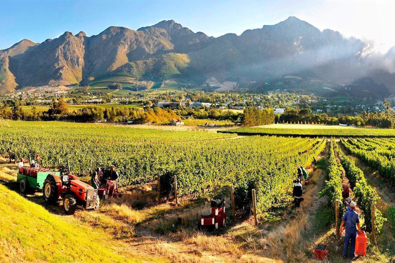 Franschhoek Wine Tram, vineyard harvest